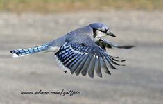 Blue Jay Flying | golfpic | all galleries >> Some recent shots > Blue Jay in flight