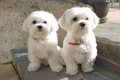Maltese! thats what my dog looks like !
