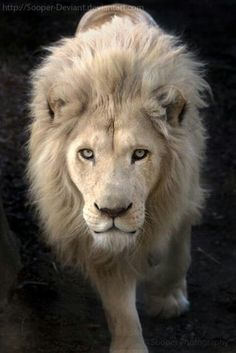 the mysterious albino lion. Otherwise known as the white lion. Albinos are always special and scarce. Whether it's an albino peacock, or an albino crocodile, they all are very small in population. Animals And Pets, Baby Animals, Cute Animals, Wild Animals, Beautiful Cats, Animals Beautiful, Stunningly Beautiful, Regard Animal, Lion Of Judah