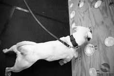 American Bulldogs, Training, Wall, Work Outs, Walls, Excercise, Onderwijs, Race Training, Exercise
