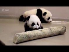 Feb 2016 / Toronto Zoo Giant Panda Cubs Walking at 4 Months Old! (video) https://www.youtube.com/watch?v=xiu4XDoh50M #Panda
