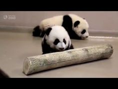 Toronto Zoo Giant Panda Cubs Walking at 4 Months Old! - YouTube