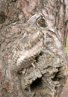 Beautifully camouflaged owl.