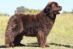 The Newfoundland can grow to be quite large, so it's important that you're sure you're capable of handling them. Early training and socialization can help to round out his personality and ensure that he listens to commands when they are given.