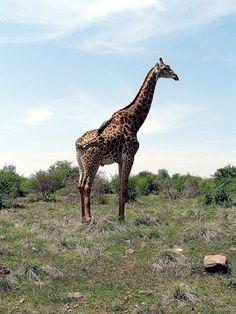 Giraffe in the Kruger Park Veni Vidi Vici, South Africa, Giraffe, Explore, Park, Places, Nature, Animals, Beautiful