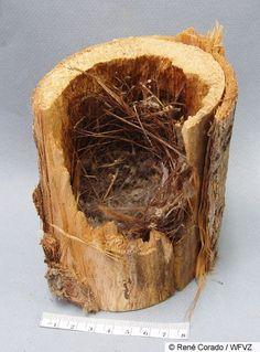 wren's nest.