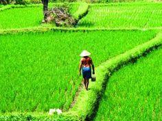 ubud ricefield #bali