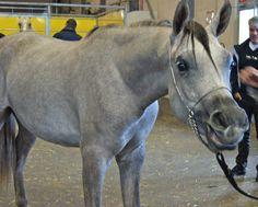 #Cheval #Horse #Pferd #PurSangArabe #Araber #Arabian #SalonduChevalAlbi