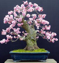 A beleza do Prunus Mune(DamasqueiroJaponês)   Aido Bonsai