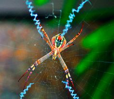 St Andrew's Cross Spider (female). they spin amazing webs with the distinctive lines in them.
