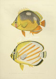017-chaetodon quadrimaculatus, Ornate Butterflyfish      ...