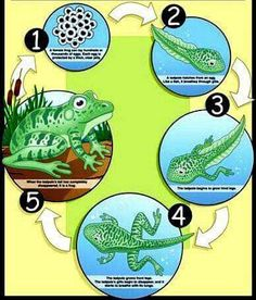 Life Cycle of a Frog Poster Preschool Science, Elementary Science, Teaching Science, Science Classroom, Classroom Pets, Lifecycle Of A Frog, Frog Theme, Butterfly Life Cycle, Stem For Kids