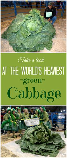 The heaviest cabbage weighed 62.71 kg (138.25 lb) and was presented at the Alaska State Fair by Scott A. Robb (USA) in Palmer, Alaska, USA, on 31 August 2012. Scott A. Robb has previously held a number of Guinness World Records for heaviest vegetables, including the 'Heaviest turninp', among others.  #food #healthy #greens #smoothie #health #clean #cleaneating #paleo #recipes #tasty #fresh #nocarb