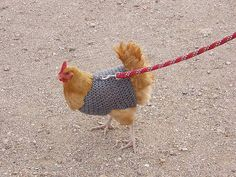 Homemade Large Chicken Fowl Harness for Walking on A Leash Nice | eBay
