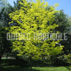 image de Gleditsia Sunburst Detaille, Quebec, Photos, Image, Gardens, Index Cards, Plants, Flowers, Pictures
