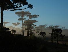 Floresta com araucária no Paraná (Foto: Wigold Schaffer/Divulgação)