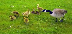 Canadian Goose & Baby Geese