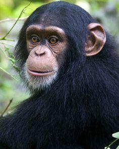 3.Chimpancés. Las líneas evolutivas de los chimpancés y de los humanos se separaron hace unos 5 o 7 millones de años. A partir de esto las lineas humanas siguieron ramificándose siendo el primer homínido antecesor el ardipitecos.
