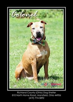 Meet Colonel - URGENT!, a Petfinder adoptable Boxer Dog | Mansfield, OH | Hi there, my name is Colonel. I came to the shelter as a stray on 6/5/14. I am in trouble because I...