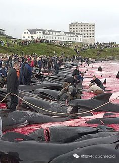 Please keep this going around the world...请向全球传递这封信!Humans are killing hundreds of the famous and intelligent Calderon dolphins in Denmark, part of an annual celebration. Read more here and take action.  Spread this all over the world. It has to be known. --Posted to DESERT HEARTS Animal Compassion -  Phoenix, Arizona --1/23/2014 https://www.facebook.com/desertheartsphoenix