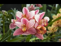 Truque para Orquídea Cymbidium florecer - YouTube