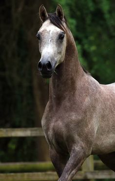 ASE Magnificent (ZT Magnanimus x ASE Bisiriya Hlayyil) 2015 grey stallion bred by Arabian Stud Europe, Netherlands