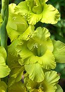 Gladiolus 'Green Lace' old school gardens, 3-4' ht