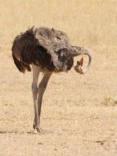Ostrich - neck check. I love Ostrich's!! There so adorable <3.