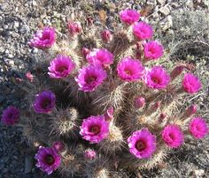 """Echinocereus engelmannii -- one of the """"hedgehog cactuses.  Hedgehogs have stems from two to 24 inches tall that grow from a single base. The first part of the genus name Echinocereus comes from the Greek word for 'hedgehog,' while the second part 'cereus' comes from the Latin for 'large candle.'  Other species of cactus and succulents grow in the same hedgehog fashion, including Opuntia invicta and Euphorbia horrida."""