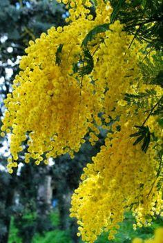 http://www.pinterest.com/Daphnekjames/flowers-gardens/ ZILLION Mimoza