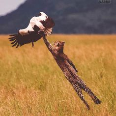 An African leopard makes a fantastic leap to snare a white stork. An African leopard makes a fantastic leap to Nature Animals, Animals And Pets, Funny Animals, Cute Animals, Wild Animals, Artic Animals, Woodland Animals, Wildlife Nature, Beautiful Cats
