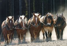 Horses at Work: Lifestyles of Working and Service Horses - TheHorse.com | Horses that plow, heal, or protect have distinctly different lifestyles than the average riding horse. #horses #TheHorse #workhorses