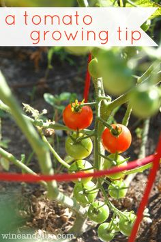 A quick little tip that will help your tomato plants thrive via www.wineandglue.com