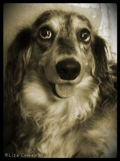Stella, miniature long haired Dachshund.