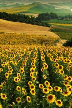 SUNFLOWERS! I will travel to this place and I will dance among these and someone will take a photo. Its happening.