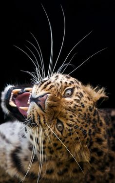 earthandanimals:   On the brink of extiction (Amur Leopard) by bigcatphotos UK