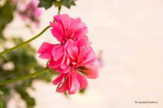 Está flor fue tomada en el parque 7 de junio un día muy soleado.. desde temprano..  Fotografiado por:©JackieCreativa