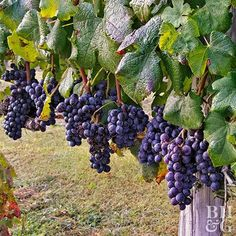 You don't need to live on a vineyard in California to grow your own grapes for making jams and wine.