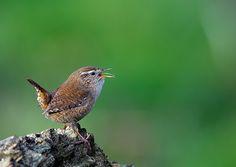 wren.  photo by Mark Hughes