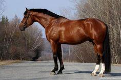 Airborn - Bay Oldenburg stallion, 2008