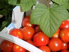 #säilöntä #tomaatti #pakastaminen #luomulaakso    Helppo ja nopea tapa säilöä tomaatit - Luomulaakso