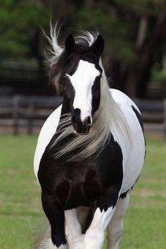 Stunning black and white horse