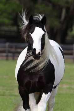 Stunning black and white horse