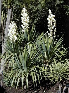 Yucca recurvifolia Soft Leaf Form RIVERSIDE