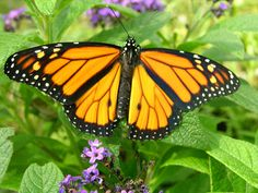 Copy of Butterfly_Monarch_Male1