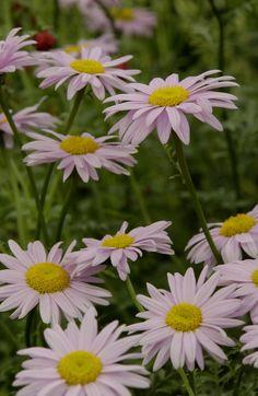 painted daisies (tanacetum)