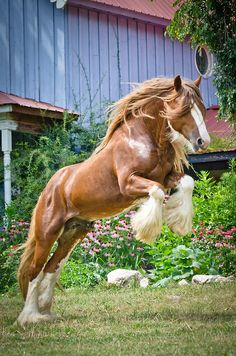 Country harness carriage draft horse Gyspy Vanner