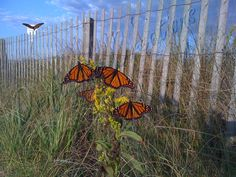 Monarchs at the Wooden Jetty