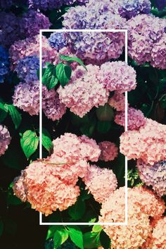Layers of hydrangea colours!