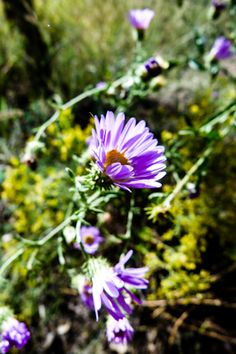 """""""A tincture of the fresh flowering tops of new england aster seemed clearly indicated as a respiratory remedy, being uniquely clearing, rela..."""
